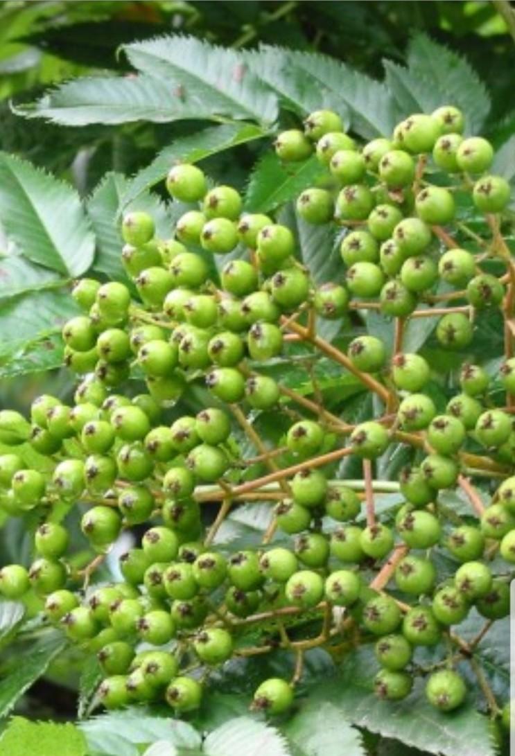 마가목 나무 열매 술 담그기 마가목 효능 알아보기