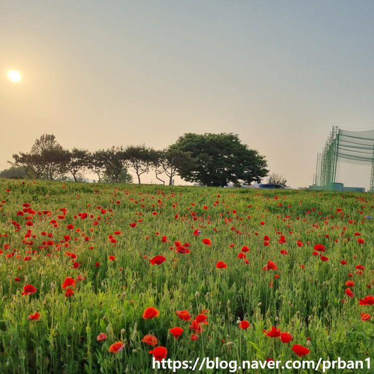 수원 탑동 시민농장 양귀비꽃
