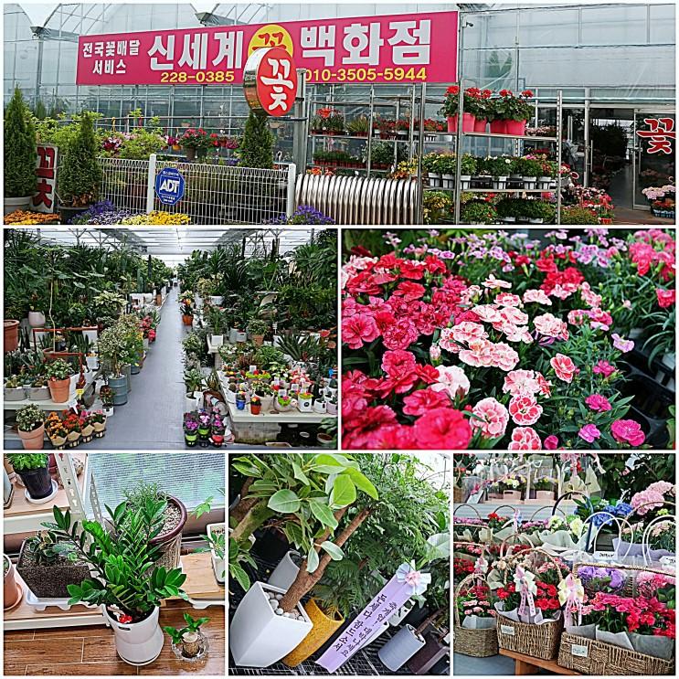 전주 화분 종류가 많은 신세계꽃백화점 꽃집에서 선택한 금전수