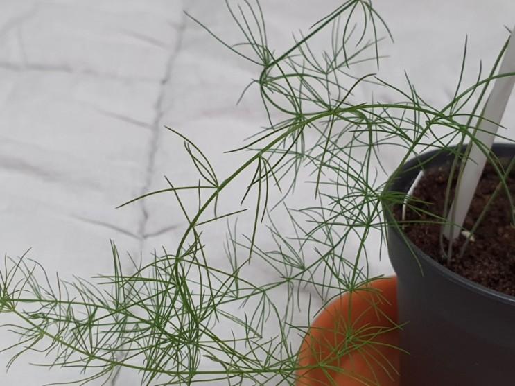 블챌 오늘일기 8 아스파라거스 키우기 How to Grow Asparagus