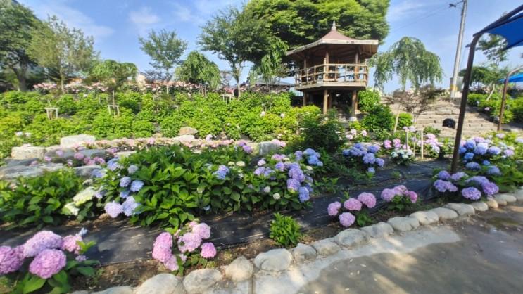 공주 유구 색동 수국 정원, 바야흐로 수국이 제철!