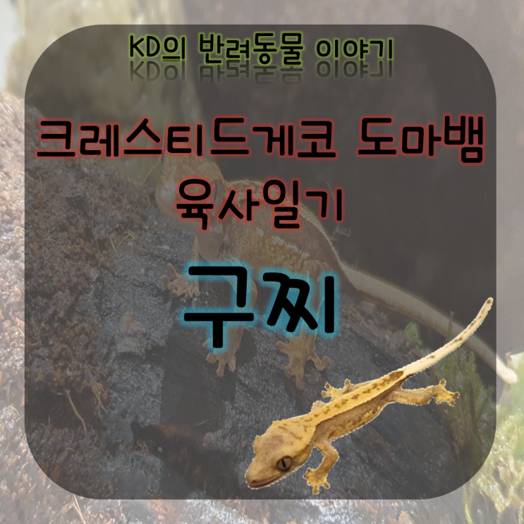 케이디네 반려동물 구찌 이야기 - 만남 ( 크레스티드게코 / 크레 / 게코 수명 / 도마뱀사육 / 도마뱀은신처 )