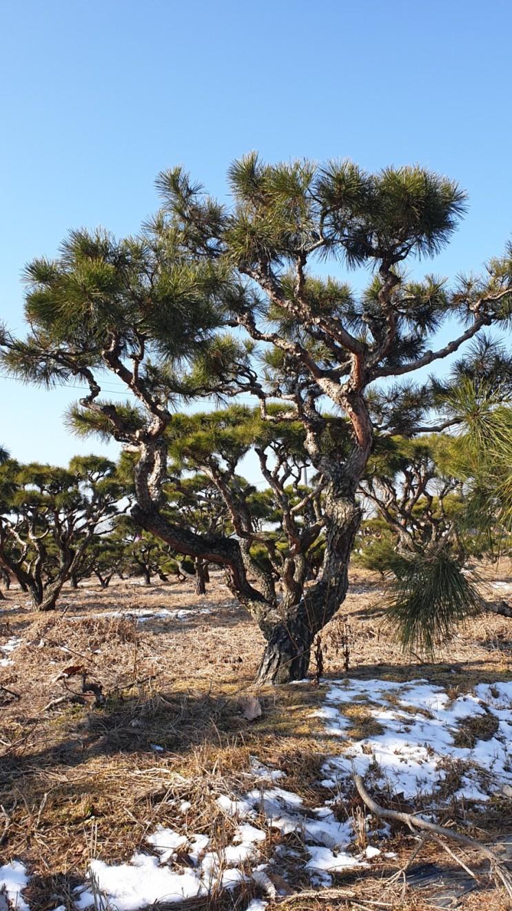 봄을 기다리는 소나무 농장 성토작업 후기