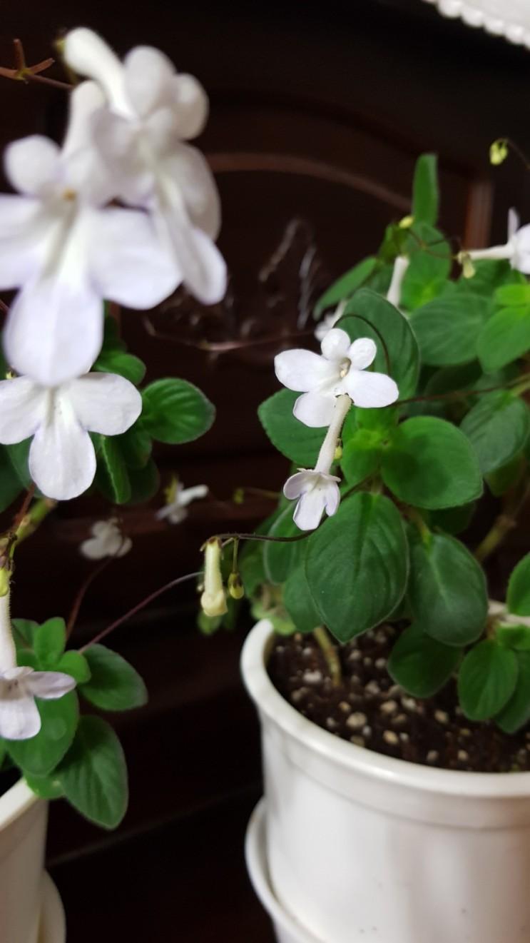 삭소롬 흰삭소롬 꽃 피우다