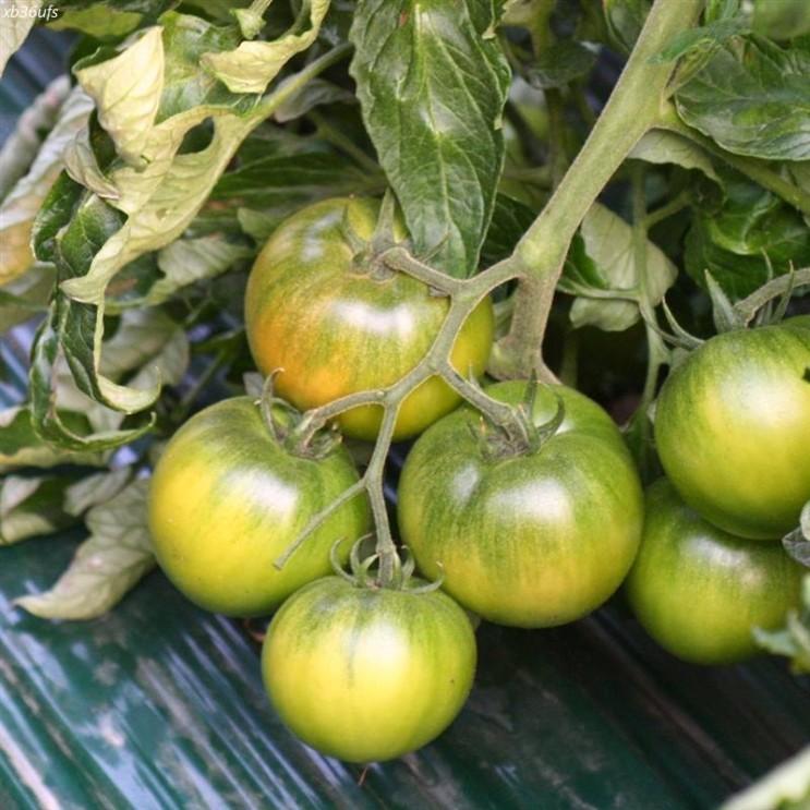 [할인추천] 대저농협인증농가 대저 짭짤이 토마토 2.5kg 5kg 23,800 원♬ 8% 할인♩♪