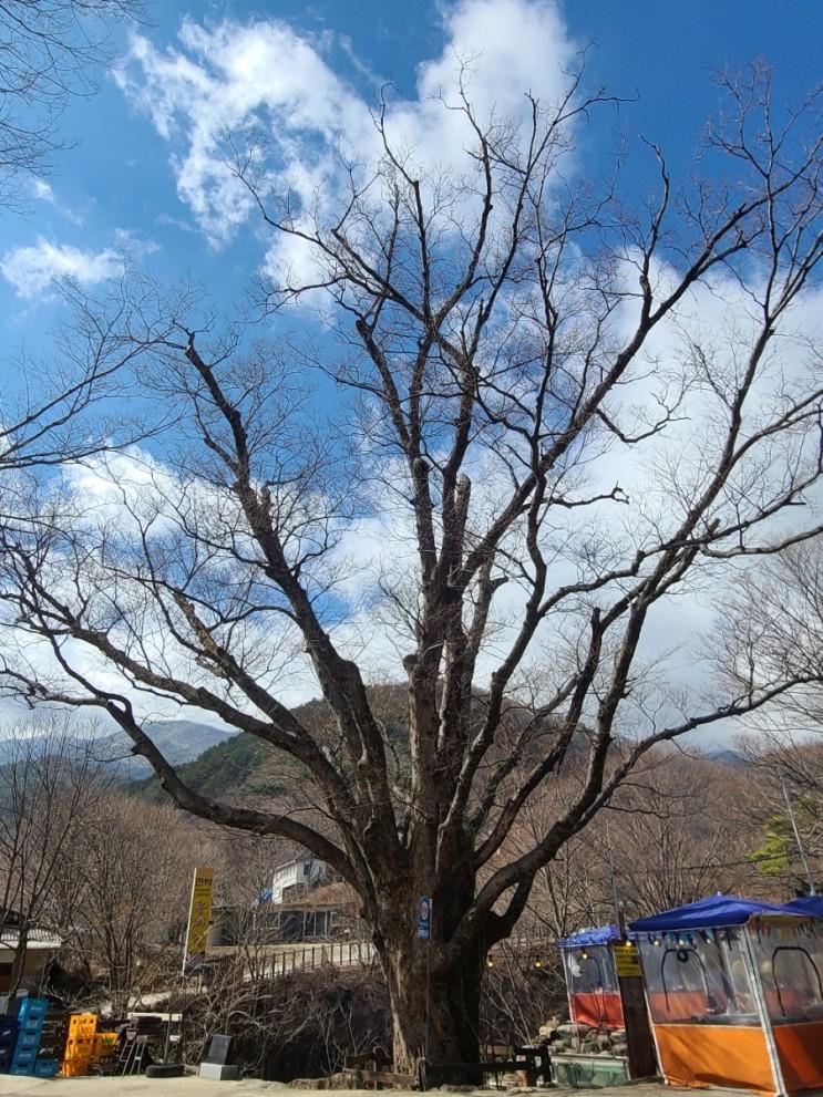 남원여행, 남원 덕동리 달궁 느티나무(보호수, 고유번호: 9-5-20)
