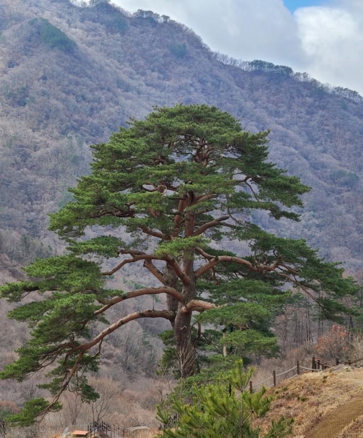남원 가볼만한 곳, 지리산 천년송(천연기념물 제424호)