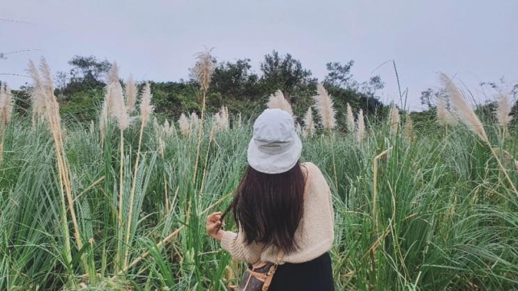 [제주 동부] 가을 한껏 느끼기,  팜파스 농장 (팜파스 군락지)