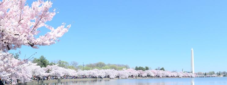워싱턴 D.C. 벚꽃축제 - 워싱턴디씨 한인택시 스카이 한인콜택시(703-980-1527)