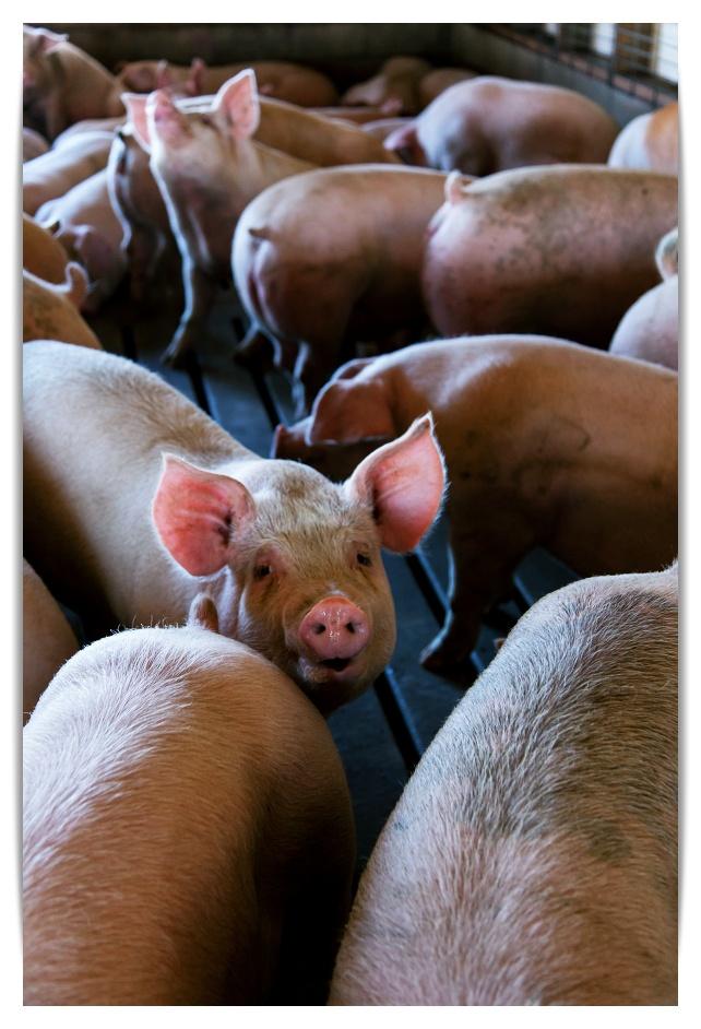 돼지꿈 풀이입니다.